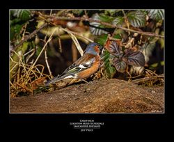 Chaffinch, Leighton Moss, Silverdale, Lancashire, England