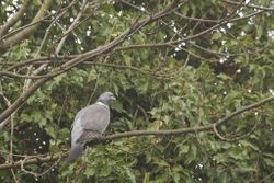 Wood Pigeon (Pigeon ramier)