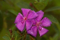 Flor de Quaresmeira ( Tibouchina sp )