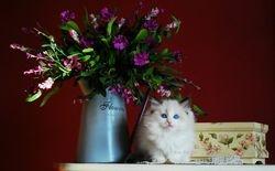 Koc-Pol cat Black Rose