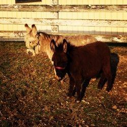 Mini Woolie Donkeys