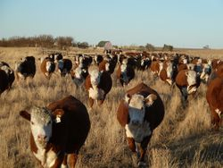 Cows headed south after weaning 2011