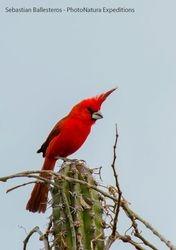 Vermillion cardinal - Cardinalis phoenicius