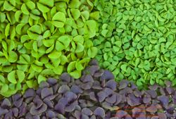 BASILS microgreens,  Cinnamon & Sweet Thai & Purple Basils, all 2 weeks since sown