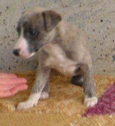 Blue fawn brindle boy 5 weeks old