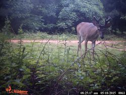 Buck picture