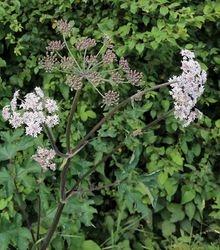 Common Hogweed flowers