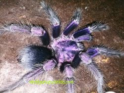 "Phormictopus sp. ""purple"""