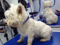 Before - Westhighland Terrier 1