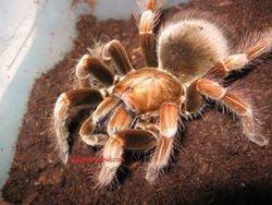 Phmphobeteus platyomma gravid female