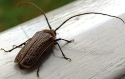 Huhu Beetle!