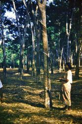 286 Rubber Plantation Malaysia