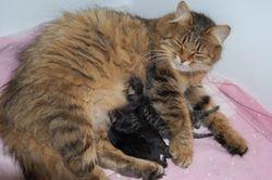 Gorislava med kattungene sine.