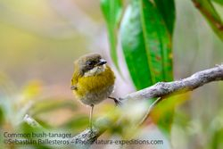 Common bush-tanager - juvenil