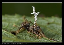 Ant parasited by fungus 2