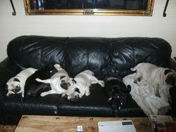 Alle 6 mopsene sover i sofaen