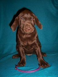 "Purple Collar Female ""Piper"" - 7 Weeks Old"