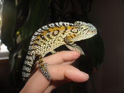 A Male Carpet chameleon