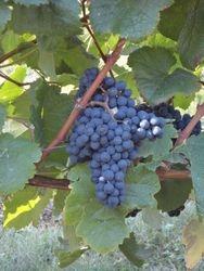 Le Tannat grape