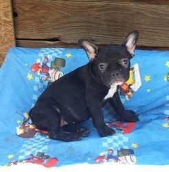 RAELYN:  AKC French Bulldog, female, $2595 companion, $3595 Full AKC registration and breeding rights, born 4-6-17