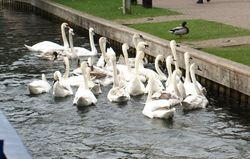 Swan convention!