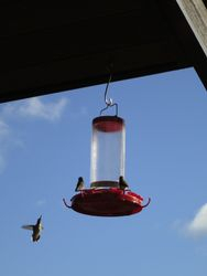 Hummingbirds visiting