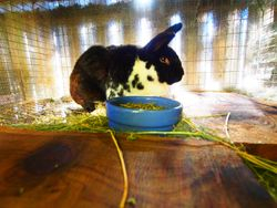 Henry rabbit