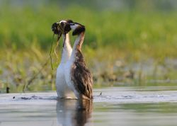 Grèbes huppés - Crested grebes