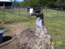Big Bird the Emu