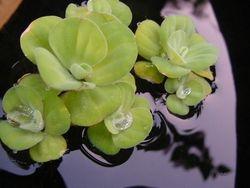 Waterplant