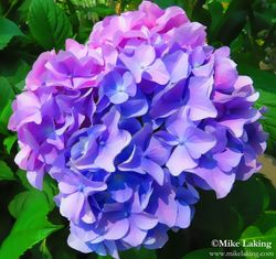 Purple Hydrangea Single