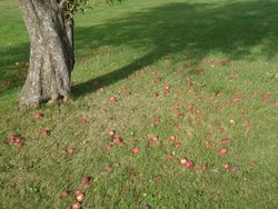 Fallen apples make... obstacles