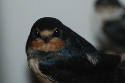 Swallow Fledgeling