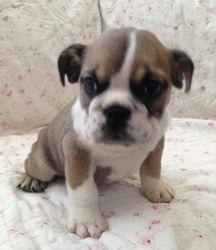 AKC Gracie May, English Bulldog Pup. DOB 9/19/15