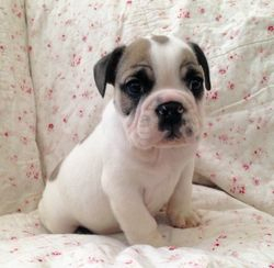 AKC Paxton, English Bulldog Pup, DOB 9/19/15