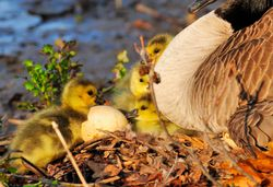 Oie au nid, oeuf et poussins - Nest, eggs and goslings.