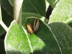 Adult froghopper.