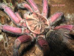 """Pamphobeteus sp. """"South Equador"""""""