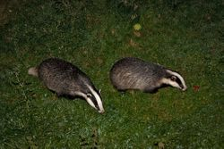 Foraging badgers