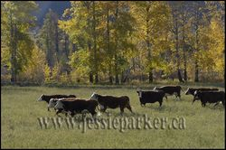 Beef Cattle,British Columbia