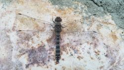 Dragonfly on the Wall
