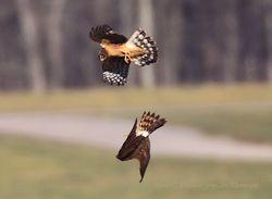 Northern Harrier Altercation