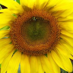 "Sunshine Bee #2 - 20"" x 20"""