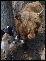 Sunny the Mini Highland Heifer