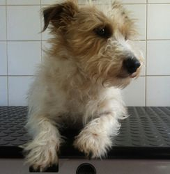 Banjo - Wire Haired Jack  Russel