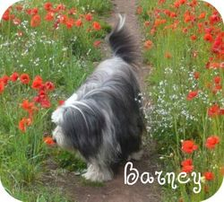 Barney in the Poppies