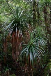 Pandani  Plants 1