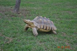 Tank the Sulcata tortoise