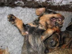 pup 4.5 weeks