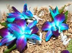 Blue Dendrobium Orchid Boutonnieres
